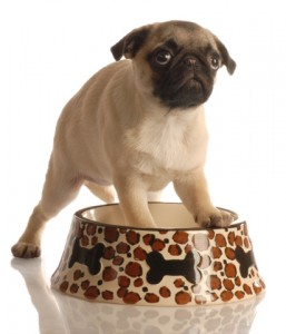 pug in food bowl