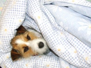 dog in a duvet puppy jack russel terrier
