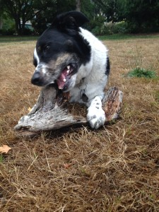 dog chewing driftwood